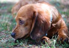 Härlig valp för gullig liten taxfrankfurterkorvhund arkivbild