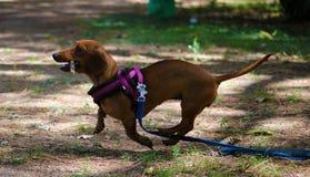 Härlig valp för gullig liten taxfrankfurterkorvhund royaltyfria foton