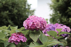 Härlig vanlig hortensia av vanlig hortensiaberöm på Fujinomori Shrin Royaltyfria Bilder