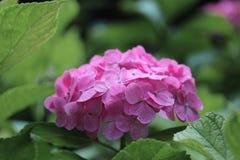 Härlig vanlig hortensia av vanlig hortensiaberöm på Fujinomori Shrin Royaltyfri Foto