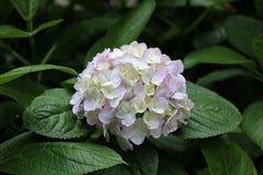 Härlig vanlig hortensia av vanlig hortensiaberöm på Fujinomori Shrin Royaltyfria Foton