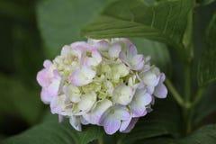 Härlig vanlig hortensia av vanlig hortensiaberöm på Fujinomori Shrin Arkivfoton