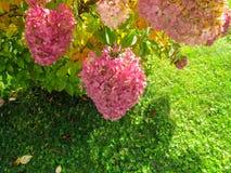 Härlig vanlig hortensiabuske royaltyfri foto