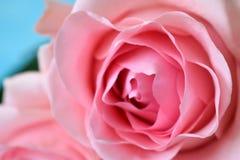 Härlig varietal rosa färgros royaltyfri fotografi