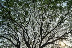 Härlig vidsträckt naturlig abstrakt konturmodell av jätte- raintreefilialer med nya överflödgräsplansidor och blå himmel för frik Royaltyfri Fotografi