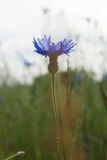 Härlig vildblommablåklint closeup Arkivbilder