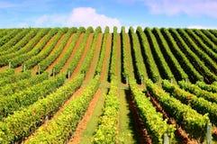 härlig vingård Arkivfoton