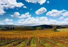 härlig vingård för höst arkivfoto