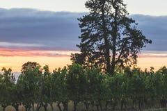 Härlig vingård för molnig himmel Royaltyfri Fotografi