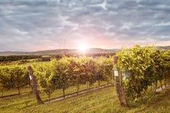Härlig vingård i aftonen Royaltyfri Bild