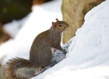 härlig vinter för bildnaturekorre Royaltyfri Bild