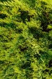 Härlig vintergrön trädthuja som är passande för landskap arkivbilder