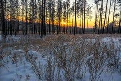 Härlig vintersolnedgång med träd i snön Fotografering för Bildbyråer