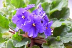 härlig violet Arkivfoton