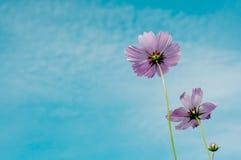 Härlig violetblommor och bluesky Fotografering för Bildbyråer