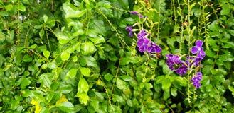 Härlig violett eller orkidéblomma för lilor, i blom- trädgård med suddig grön sidabakgrund arkivbild