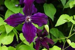 Härlig violett klematiscloseup Klematins som blomstrar i en trädgård Fotografering för Bildbyråer