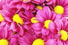 Härlig violett röd dahlia flowers.Сloseup Arkivbild