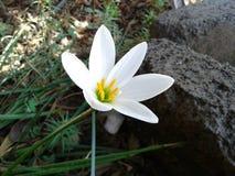 Härlig vit blomma Arkivfoton
