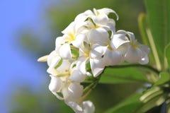 Härlig vit blomma i Thailand, LAN-thomblomma Arkivfoton
