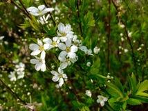 Härlig vit blomma i trädgården Arkivbilder