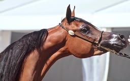 Härlig vit egyptisk arabisk häst arkivfoton