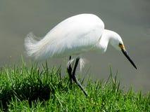 Härlig vit fågelHeron Arkivbilder