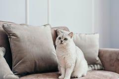 Härlig vit grå katt på cauch i klassisk fransmanhemdekor n arkivbilder