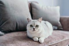 Härlig vit grå katt på cauch i klassisk fransmanhemdekor n royaltyfri bild