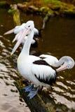 Härlig vit, gråa pelikan i fågelzoo parkerar i Walsrode, Tyskland Intressera parkera för familjer, barn och skola fotografering för bildbyråer
