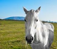 Härlig vit häst som betar i en äng Arkivfoton