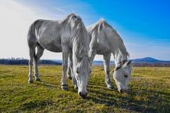 Härlig vit häst som betar i en äng Arkivfoto