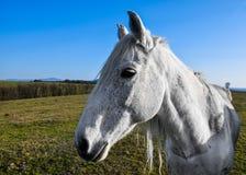 Härlig vit häst som betar i en äng Royaltyfri Foto