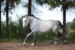 Härlig vit häst som fritt galopperar på fältet Arkivfoto