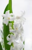 Härlig vit hyacint. Arkivbild