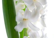 Härlig vit hyacint. Arkivfoton