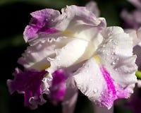 Härlig vit iris med daggdroppar på kronblad Arkivbild