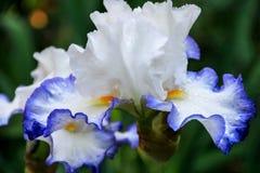 Härlig vit irisblomma Royaltyfria Foton