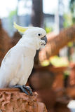 Härlig vit kakadua Arkivbilder