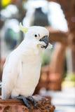 Härlig vit kakadua Arkivbild