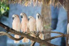 Härlig vit kakadua, Sulphur-krönad kakadua (Cacatuagalerita) som står på en filial Arkivfoton