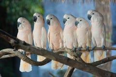 Härlig vit kakadua, Sulphur-krönad kakadua (Cacatuagalerita) som står på en filial Royaltyfria Bilder