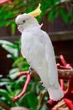 Härlig vit kakadua, Sulphur-krönad kakadua (Cacatuagalerita) som står på en filial Fotografering för Bildbyråer