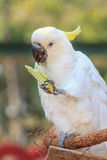 Härlig vit kakadua, Sulphur-krönad kakadua (Cacatuakuling Arkivfoton