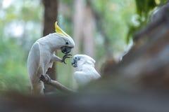 Härlig vit kakadua, Sulphur-krönad kakadua (Cacatuakuling Royaltyfri Fotografi