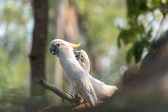 Härlig vit kakadua, Sulphur-krönad kakadua (Cacatuakuling Royaltyfria Bilder