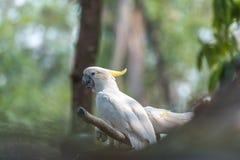 Härlig vit kakadua, Sulphur-krönad kakadua (Cacatuakuling Royaltyfria Foton