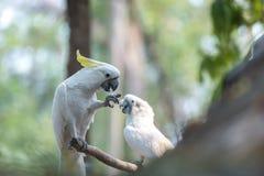 Härlig vit kakadua, Sulphur-krönad kakadua (Cacatuakuling Fotografering för Bildbyråer