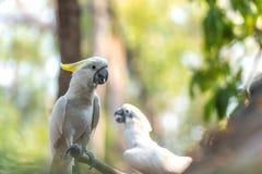 Härlig vit kakadua, Sulphur-krönad kakadua & x28; Cacatuakuling Royaltyfri Fotografi