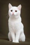 Härlig vit katt med gula ögon arkivbilder